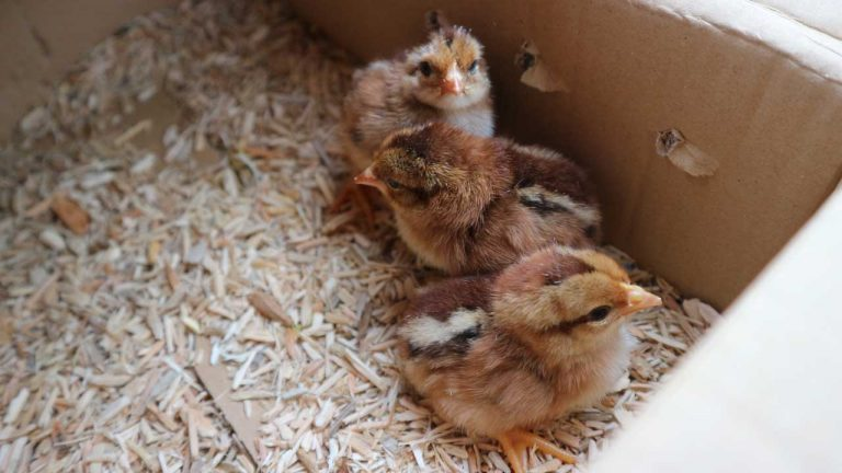 Ruby's Chicks Arrive
