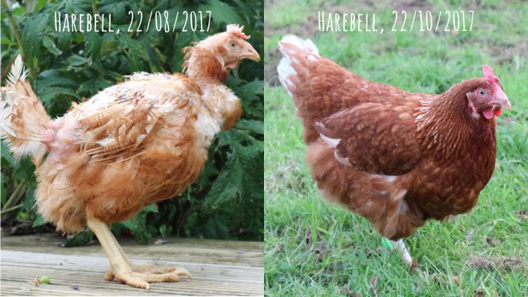 Harebell's Transformation