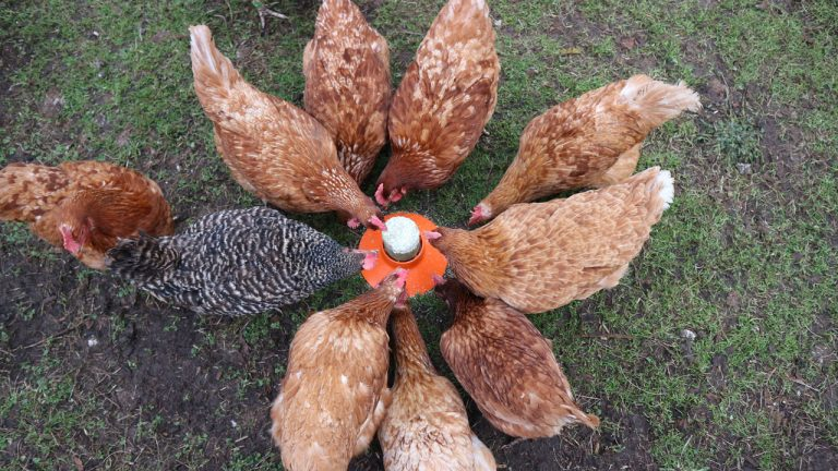 the-hens-at-the-hentastic-foraging-cake-feeder