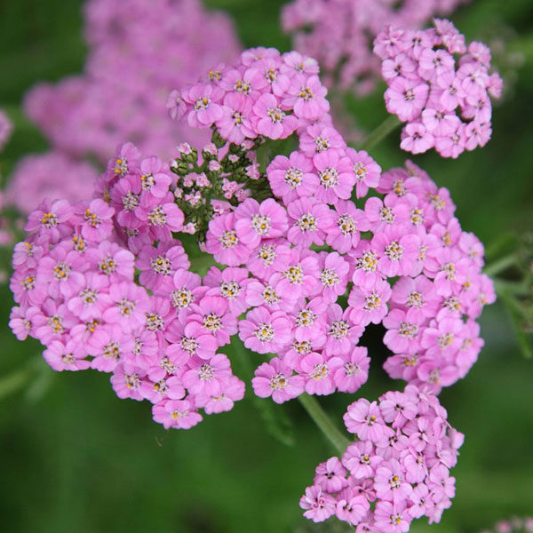 achillea-lilac-beauty